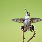 No Trespassing! Fierce Little Hummer Defending Territory by Bonnie T.  Barry
