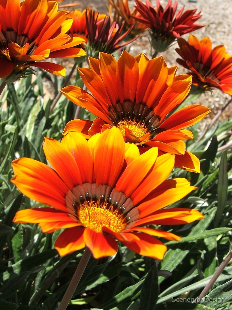 Daisies (3090) by ScenerybyDesign