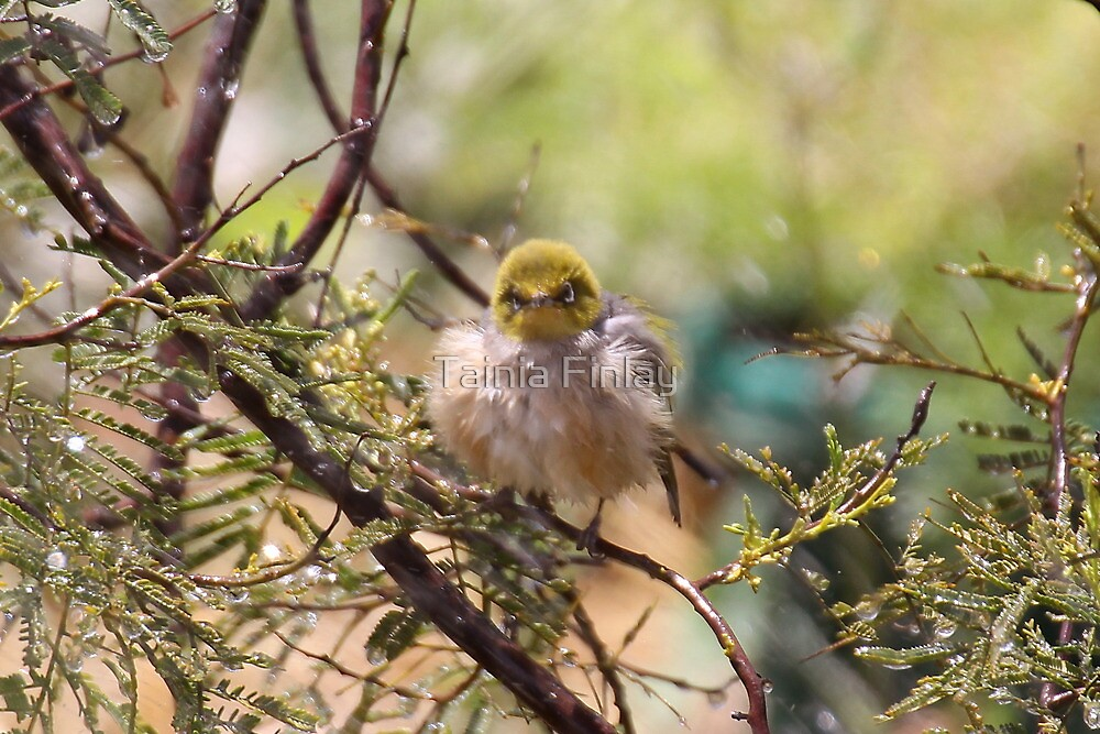 All Fluffed Up by Tainia Finlay