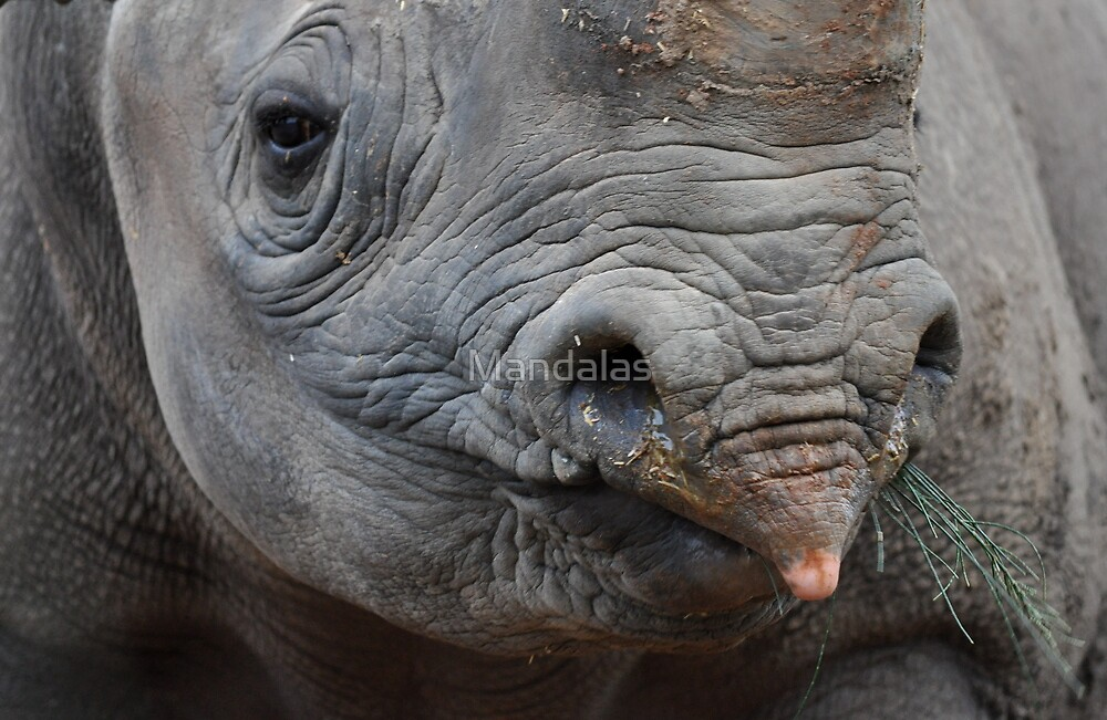A black rhinoceros asking for her morning snack by Mandalas