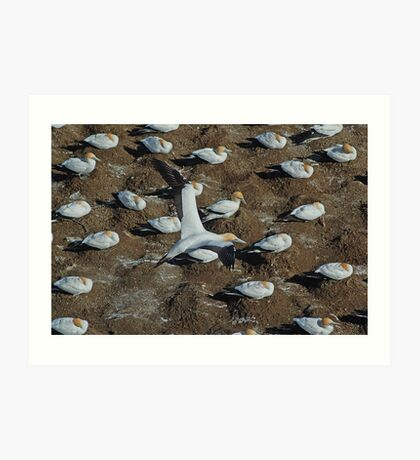 New Zealand Gannet Art Print
