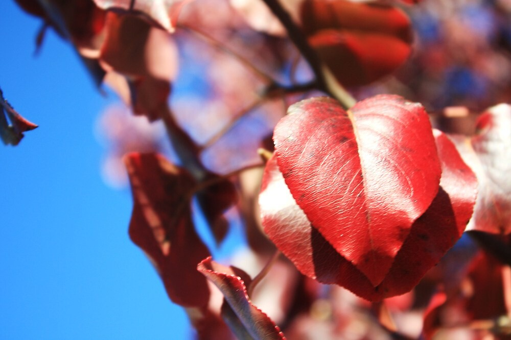Leaf red by staciflick