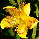 Showy and beautiful Saint John's wort flower, also known as Hypericum perforatum. by elenic