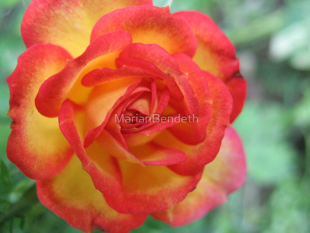 Symphonic Coloured Rose by MarianBendeth