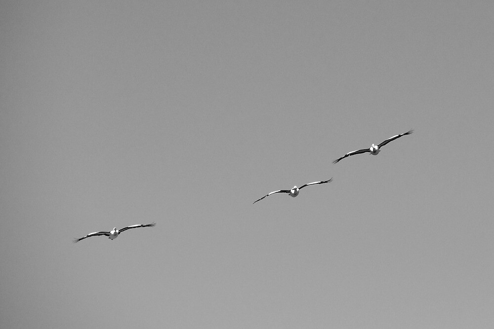 pelicans #1 by christophm