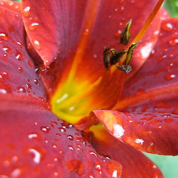 Red Daylily by beastart