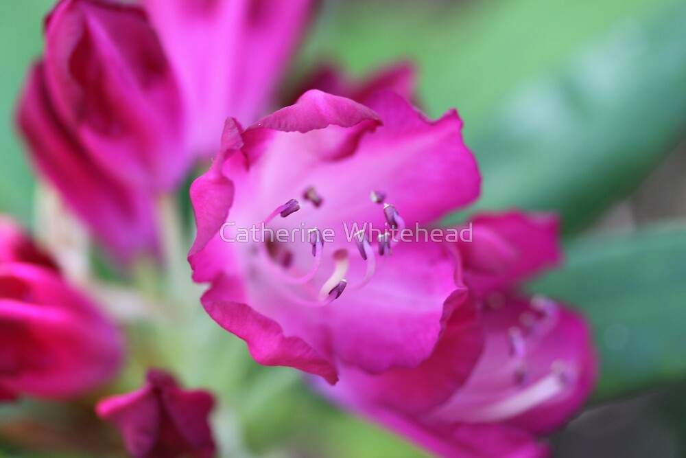 Rhododendron Flower by Catherine Whitehead