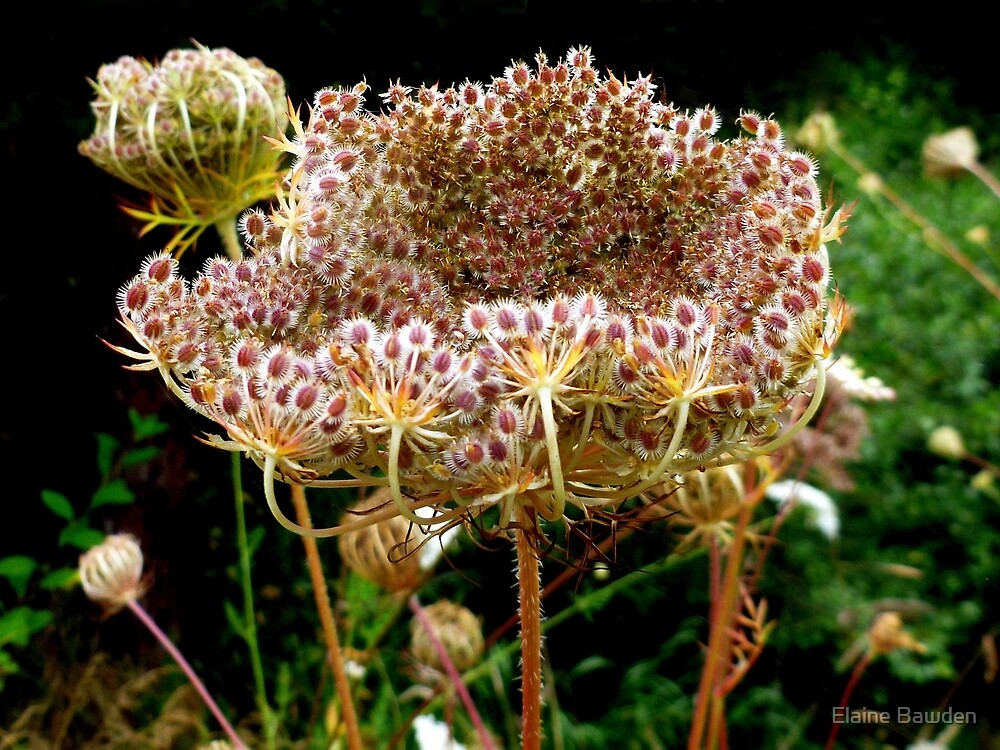 Queen Anne's Lace's giant seed head. by Elaine Bawden