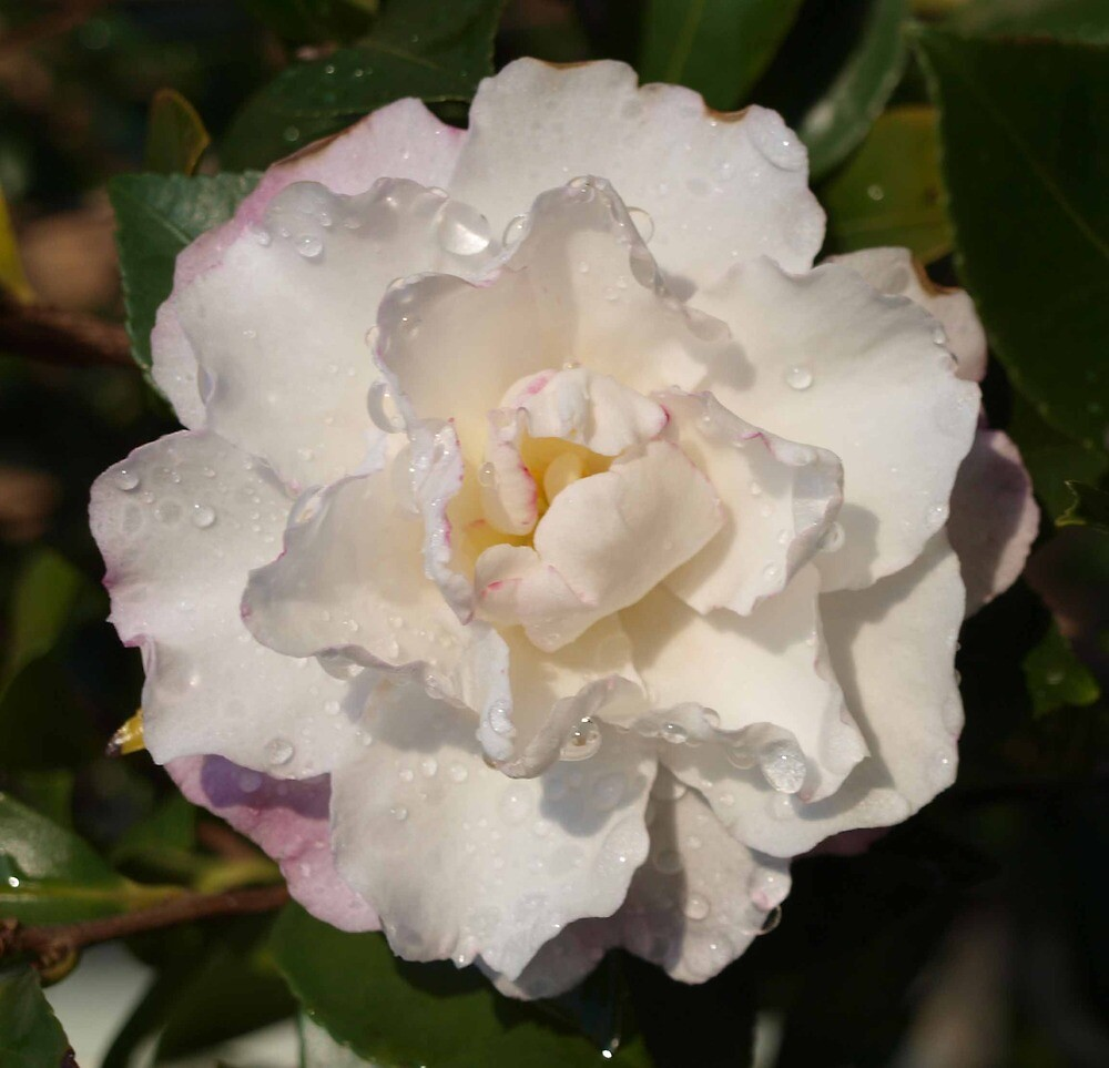 White Camellia by Allison Peters