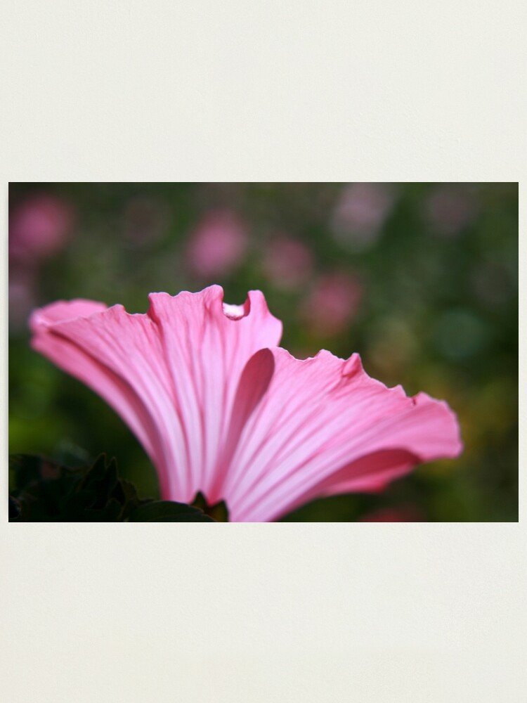 Alternate view of Delicate Pink. Photographic Print
