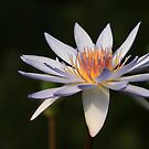 Water Lily by Wayne Gerard Trotman