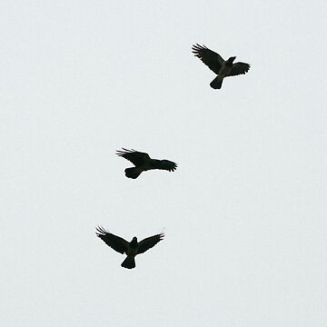 Three birds in flight by franceslewis