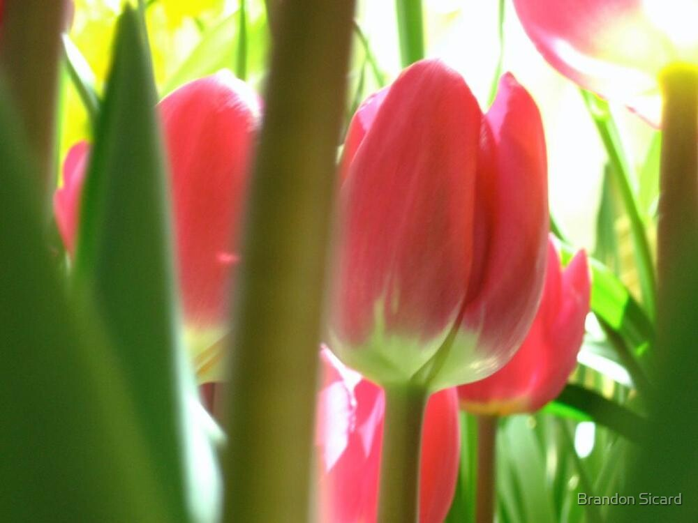 The Tulip Forest by Brandon Sicard