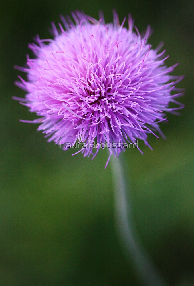 Cirsium Texanum by LauraBroussard