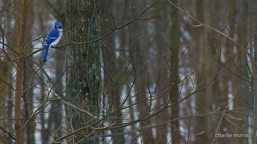 Backyard Blue Jay by charlie murray