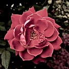 Rosy by justminting