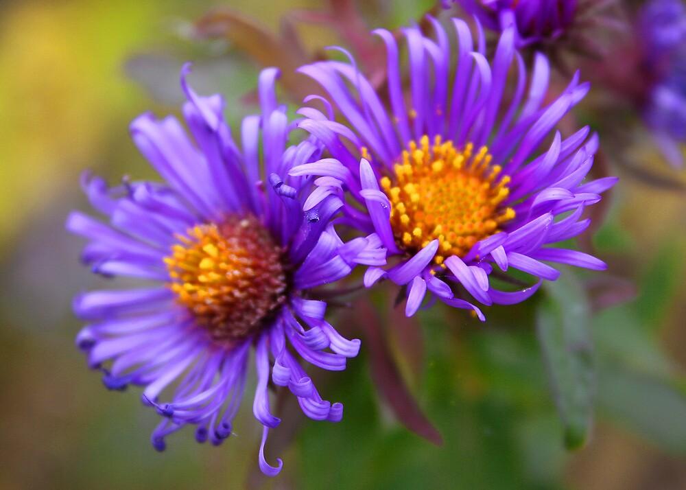 Purple Asters by djnoel