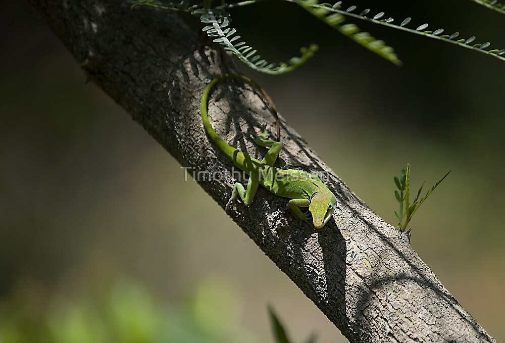 Anole posing by Timothy Meissen