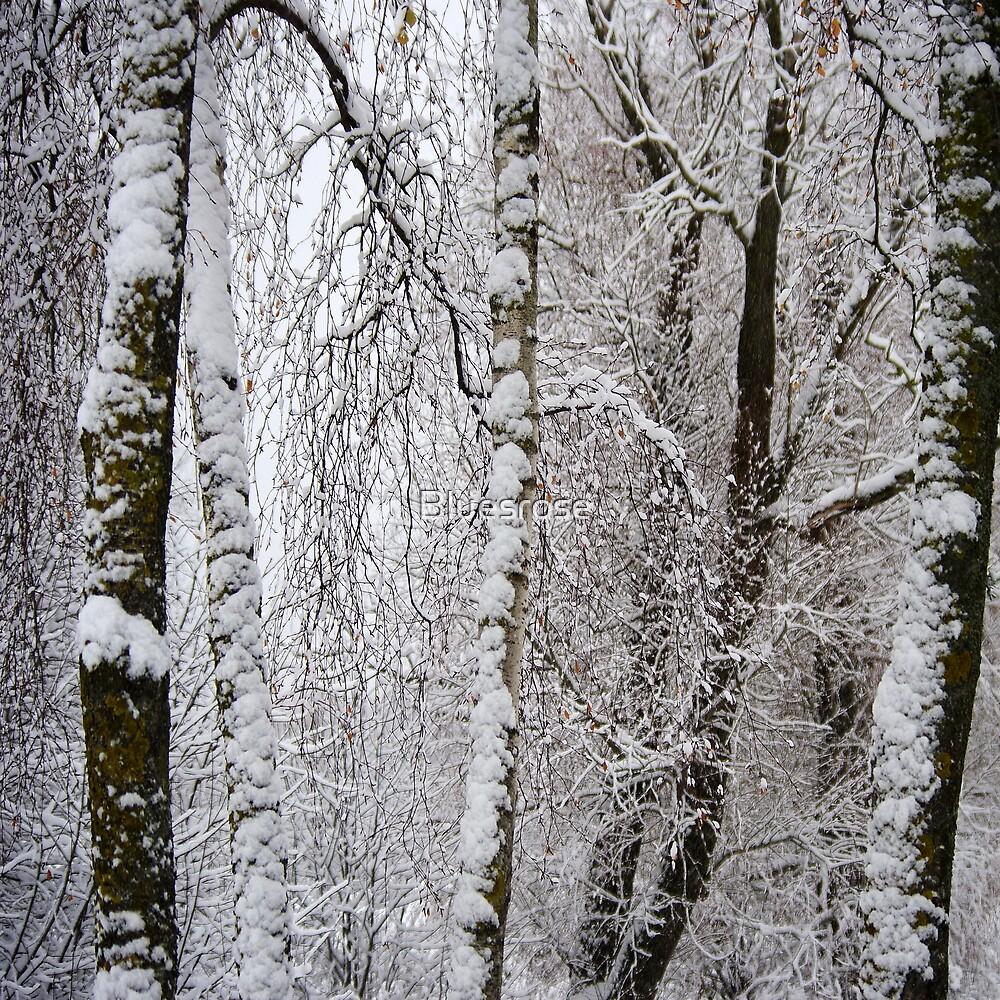 Birches. II by Bluesrose