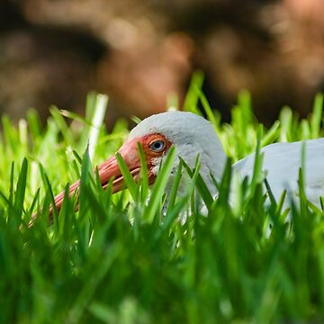 American white ibis 4 by KensLensDesigns