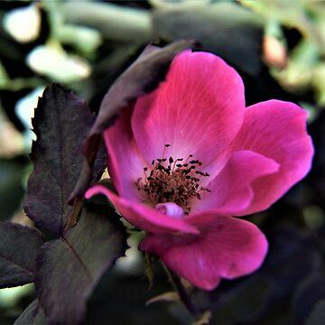 amazing rose by oirisha