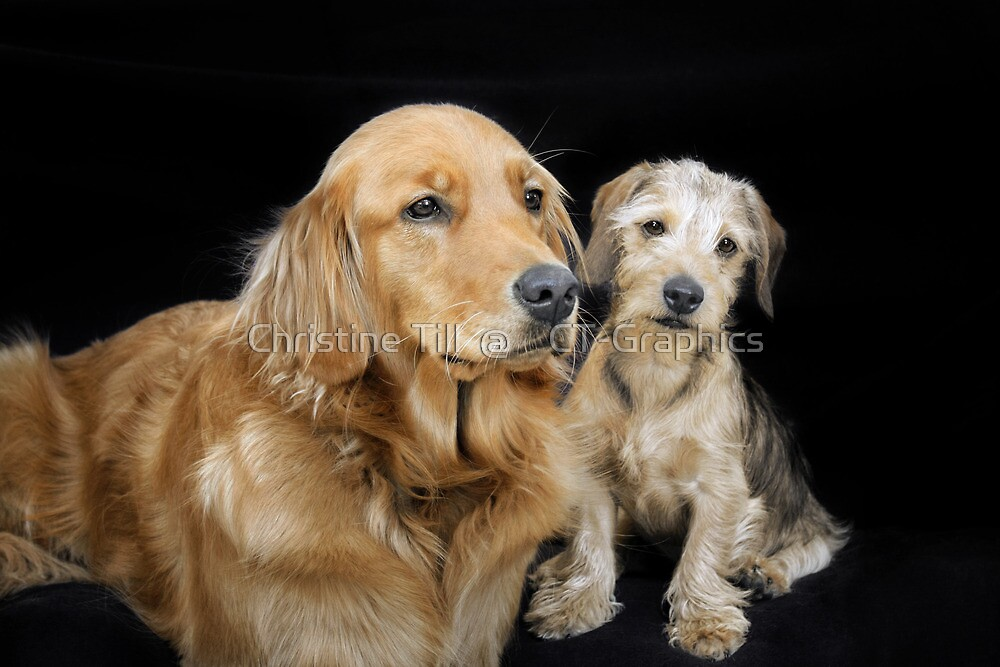 Golden Retriever And Dachshund Puppy A Sweet Couple By Christine