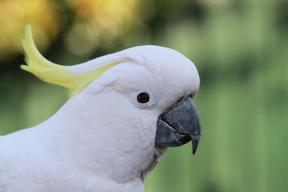 Portrait of a Cockatoo by sivaphotography