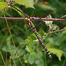 Welsh Dragonfly by RedHillDigital