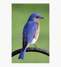 Eastern Bluebird Photographic Print