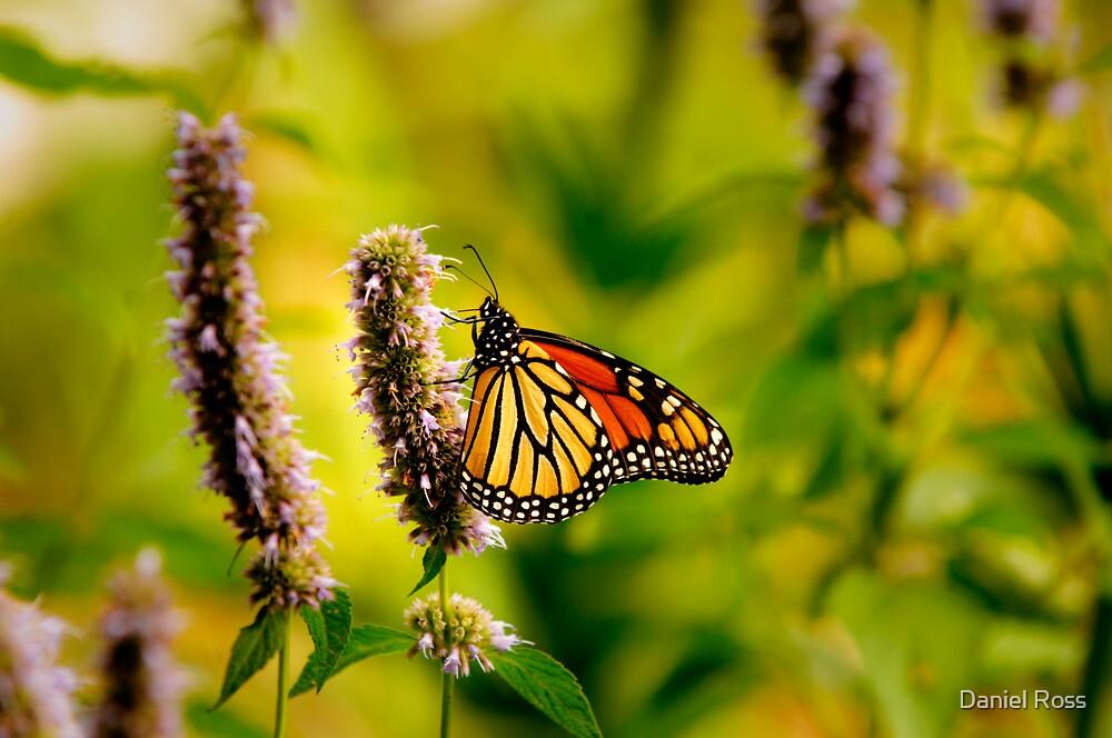Monarch by Daniel Ross