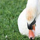Swan by Pinkanna1980