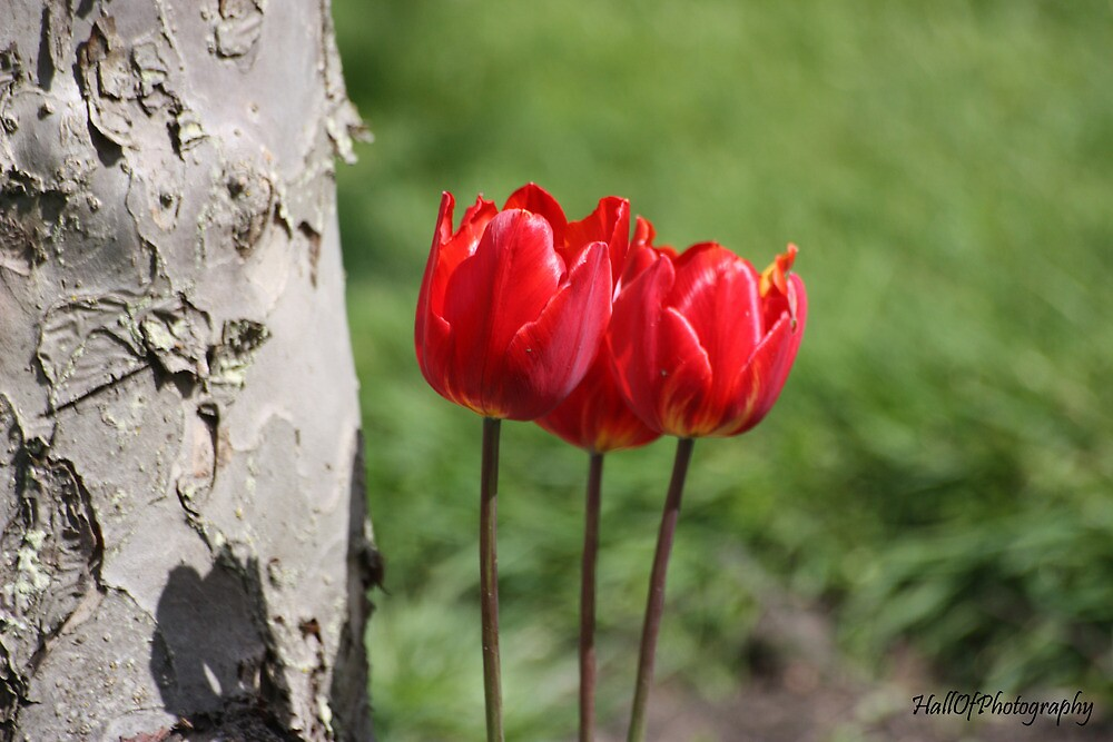 Red Tulips by Pinkanna1980