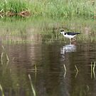 Black-necked stilt 2018-1 by Thomas Young