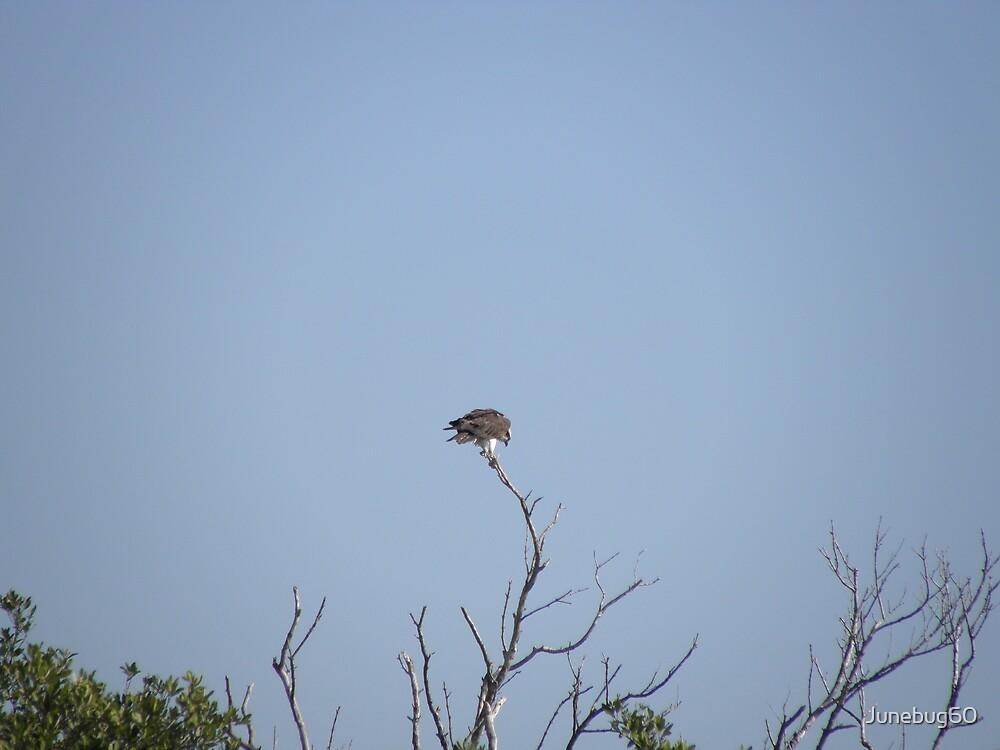 Osprey At Green Key Park, New Port Richey, Fl. by Junebug60