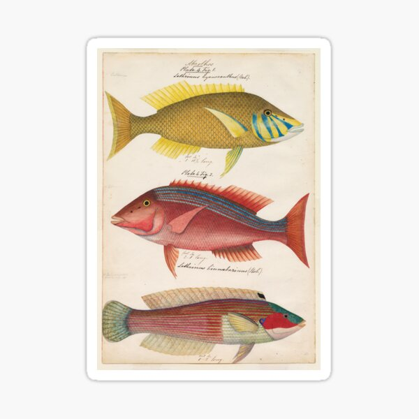 Sketches of Australian fishes, circa 1840 Sticker