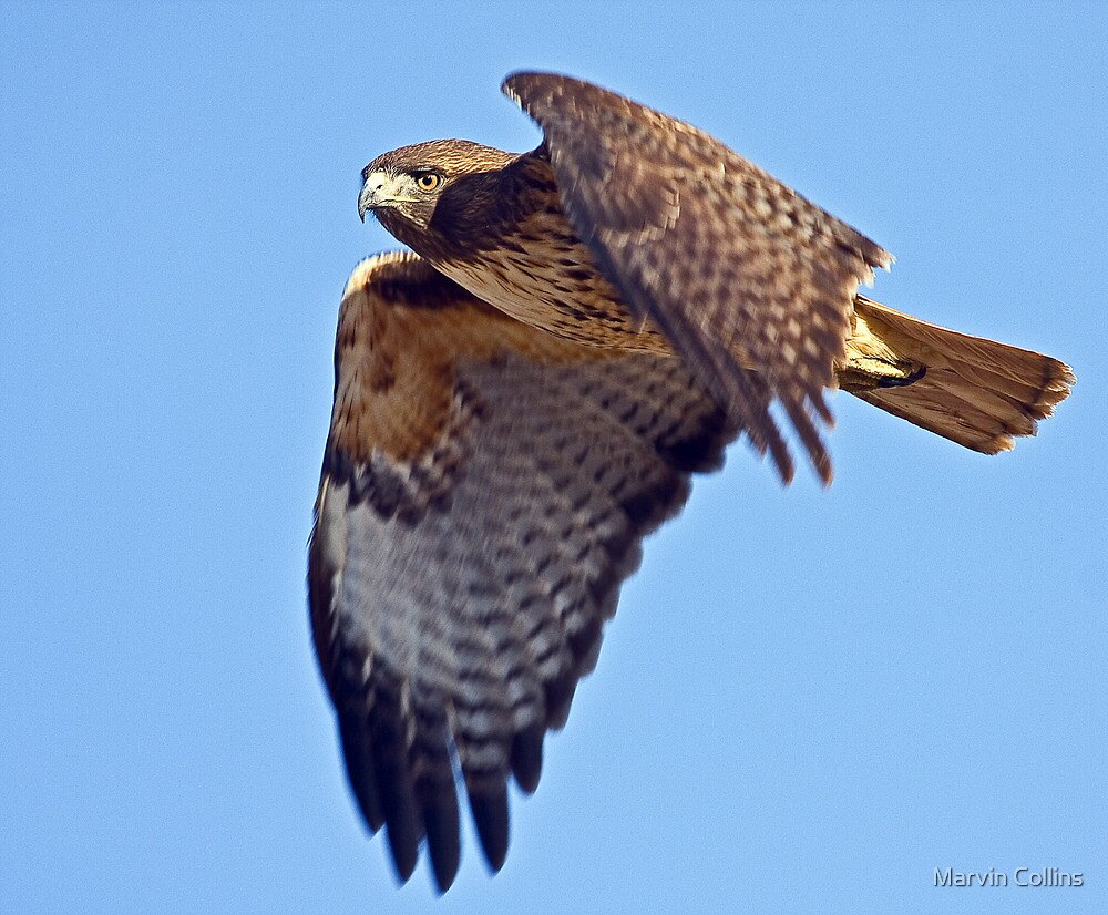 1108091 Red Tailed Hawk by Marvin Collins