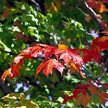 Canadian Autumn Maple  by heatherfriedman