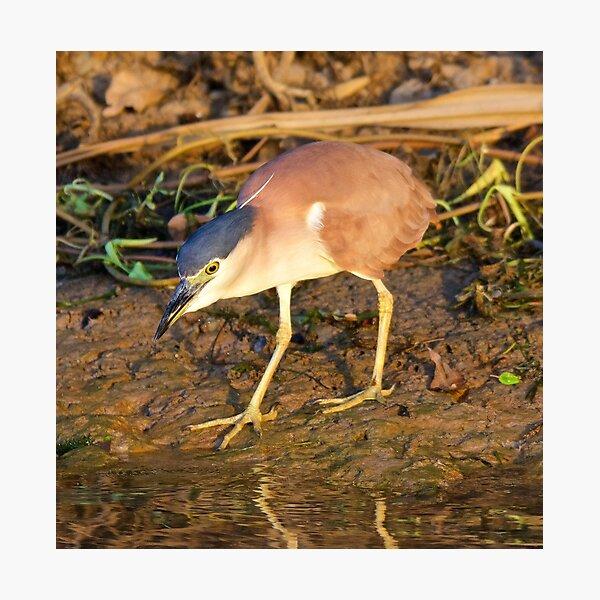NT ~ WADER ~ Nankeen Night Heron by David Irwin ~ WO Photographic Print