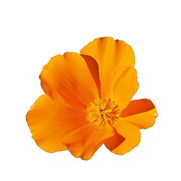 a beautiful yellow poppy by coxon