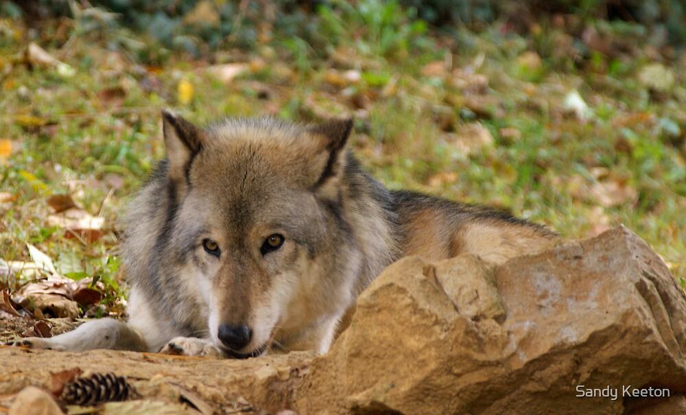 Resting Gray Wolf by Sandy Keeton