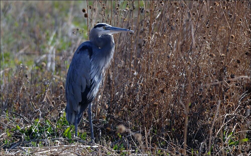Great Blue Heron 2 by oracle0017