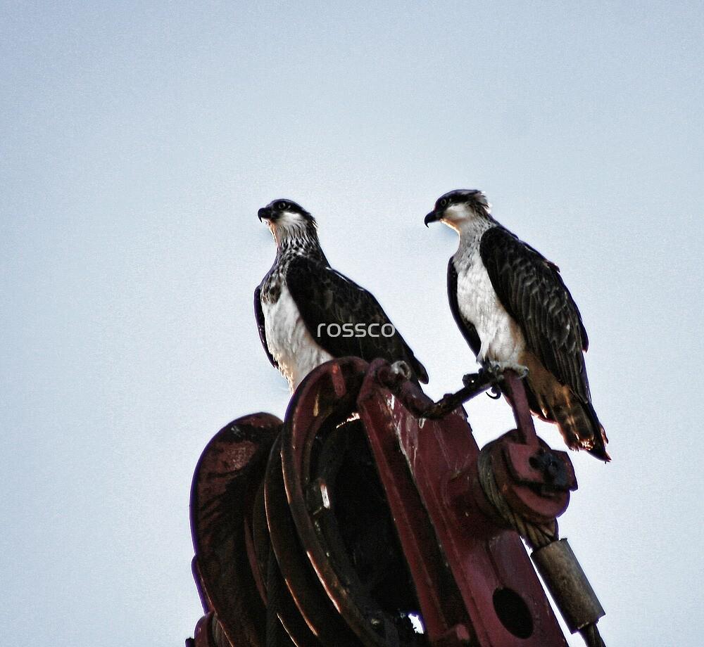 The Osprey by rossco
