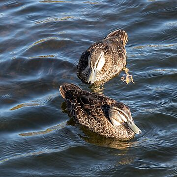 2 Pacific Black Duck (Anas superciliosa)  by DPalmer