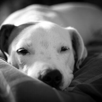 Relaxing bulldog by Tonywallbank