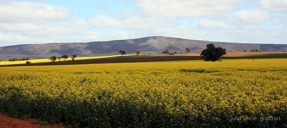 panoramic canola by julie anne  grattan