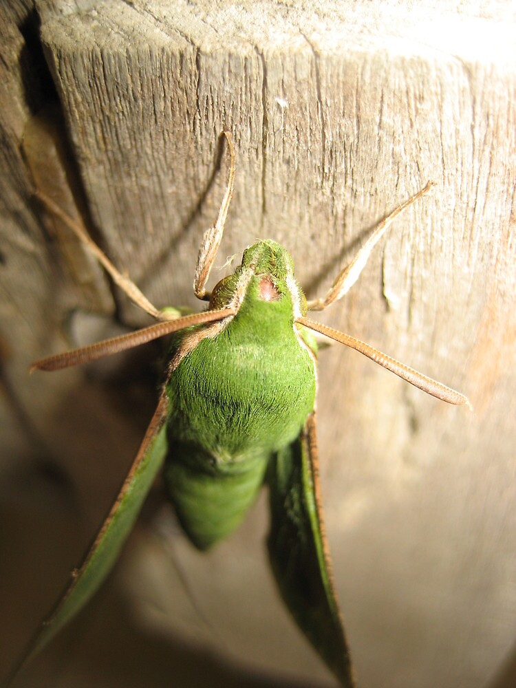 Beautiful green Moth in Natal, South Africa by Sven Klein