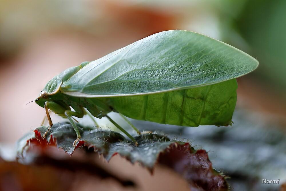 Bladder Cicada - Cystosoma saundersii  by Normf