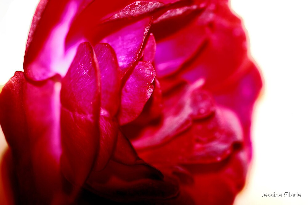 Macro Rose by Jessica Glade