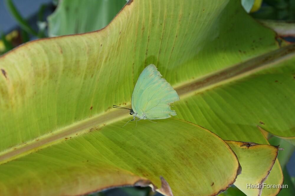 Blue Butterfly - Minyama Backyard - QLD by Heidi Foreman