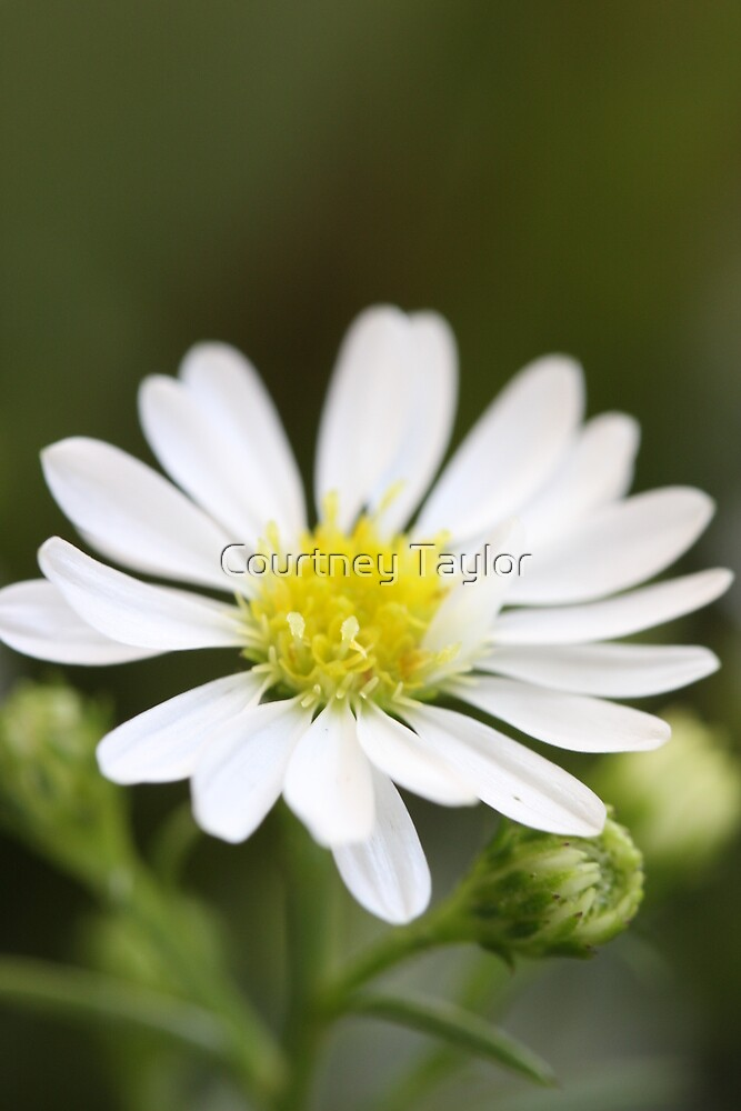single white flower by Courtney Taylor